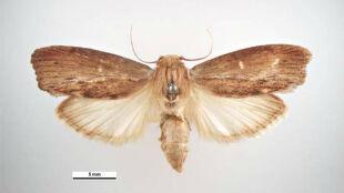Malutki motyl słyszy najlepiej na świecie