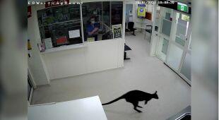 Kangur z wizytą w szpitalu