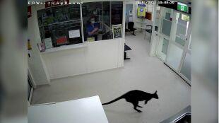 Kangur wpadł do poczekalni szpitala