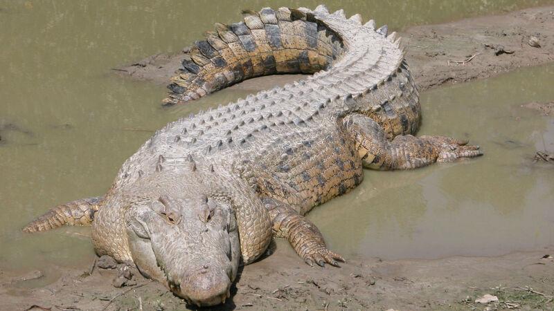 Krokodyl słonowodny (różańcowy)