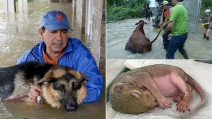 Ratują nie tylko siebie i dobytek. Po huraganie ruszyli na pomoc także zwierzętom